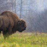 Ажурирана Црвена листа IUCN-а: популација европских бизона опоравила се са ивице изумирања; изумрла 31 врста биљака и животиња